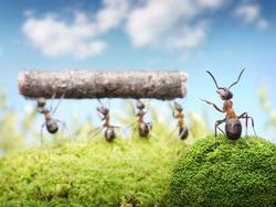 chief managing teamwork of ants
