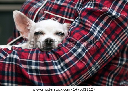 Chihuahua. A dog of the Chihuahua breed lies and sleeps in the arms of a person. On a man red pajamas in a cage - the English style. #1475311127