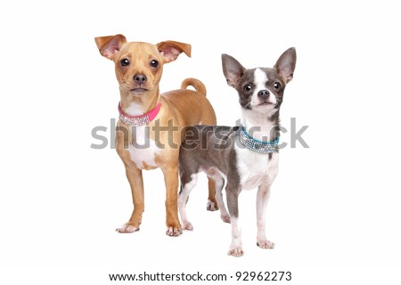 chihuahua and a mix miniature pincher in front of a white background