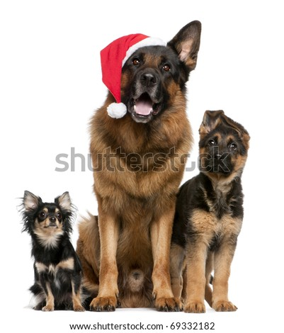 Chihuahua and German Shepherds with Santa hat sitting in front of white background