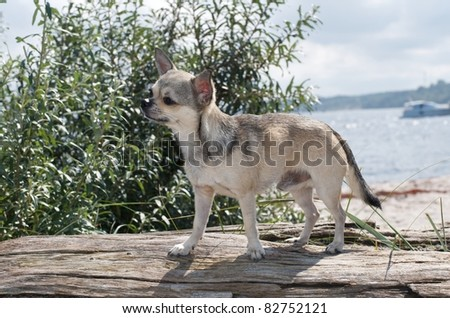chihuahua at the beach, sitting on a piece of wood