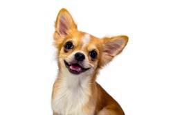 Chihuahua brown dog with white background