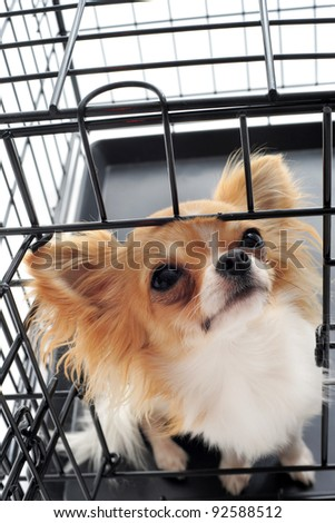 chihuahua closed inside pet carrier isolated on white background