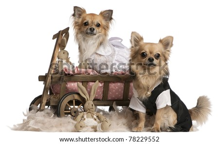 Chihuahua couple, 2 years old, dressed up and sitting in dog bed wagon with stuffed animals in front of white background