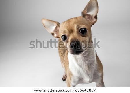 Chihuahua Dog #636647857