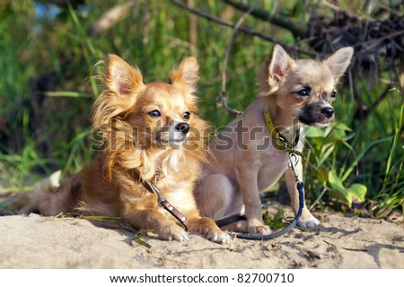 chihuahua dog and puppy  on nice sunny summer  day