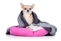 Chihuahua dog breed dog sits shivering in a blanket wrapped on pads
