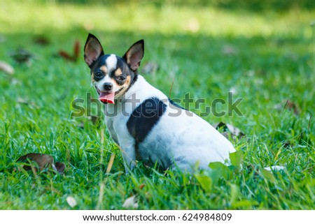Chihuahua Dog,Chihuahua Dog pet is cute. #624984809