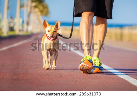 chihuahua dog close together to owner walking with leash outside at the park as friends