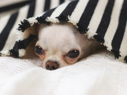 Chihuahua dog doesn't want to wake up in cold day ,  sleepy chihuahua dog under black and white stripes blanket.