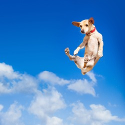 chihuahua dog flying and jumping in the air , blue sky as backdrop, funny and crazy face
