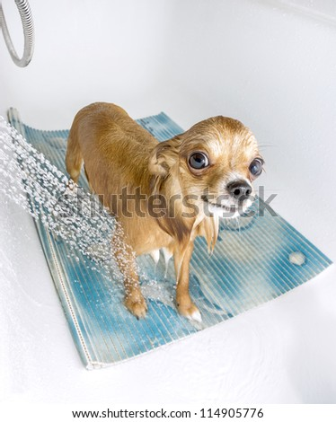 chihuahua dog getting pleasure  from shower in bath