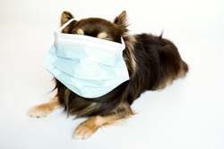 Chihuahua dog in a surgical medical mask lies on a white background. wearing a face mask during a pandemic and quarantine.