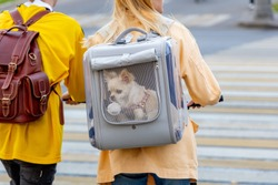 Chihuahua dog in carrying backpack behind a transparent window. The owner walks with your pet in the city