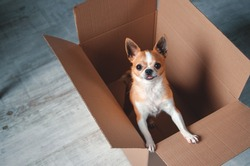 Chihuahua dog in the delivery box as a gift. Little puppy playing at home, place for text