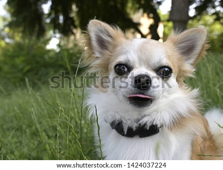 Chihuahua dog in the park  #1424037224