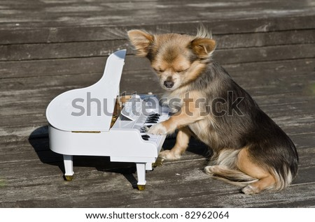 Chihuahua dog is playing on a toy piano on sunny stage