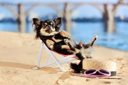 Chihuahua dog laying in lounger at the beach