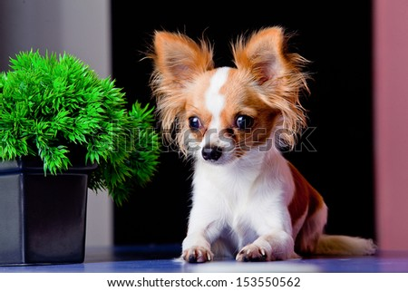 chihuahua dog lying down on black background