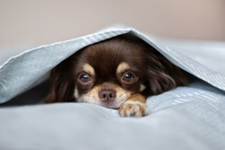 chihuahua dog lying in bed under covers