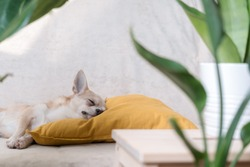 Chihuahua dog lying on yellow pillow near plant. Puppy relax on sofa