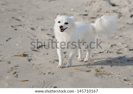 chihuahua dog on the sea