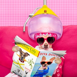 chihuahua dog relaxing at spa wellness center wearing a  bathrobe and funny sunglasses, reading a magazine  under drying hood