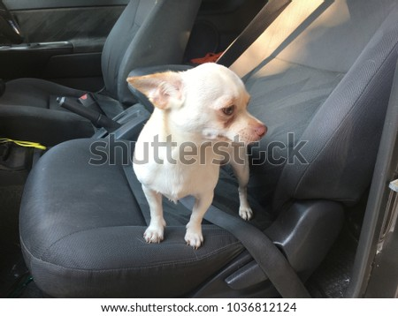 Chihuahua Dog Sit In The Car Seat Cute 1036812124