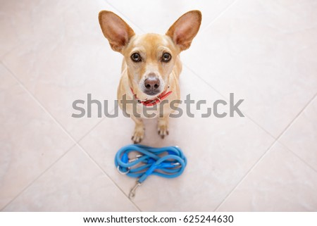 chihuahua dog waiting for owner to play  and go for a walk with leash  , isolated on floor background