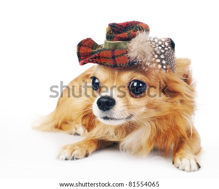 Chihuahua dog wearing in tartan hat decorated with feathers lying on a white  background close-up