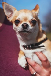 Chihuahua dog with black collar close-up portrait. Muzzle of an adult brown yellow white Chihuahua. Cute Chihuahua squinting from the sun in the hands of its owner