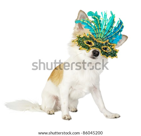 chihuahua dog with bright carnival mask isolated on white background