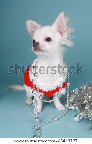Chihuahua dog with christmas decoration