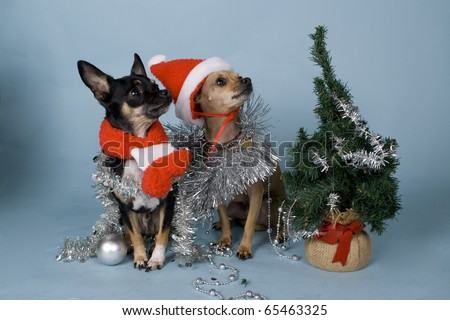 chihuahua dogs next to christmas tree