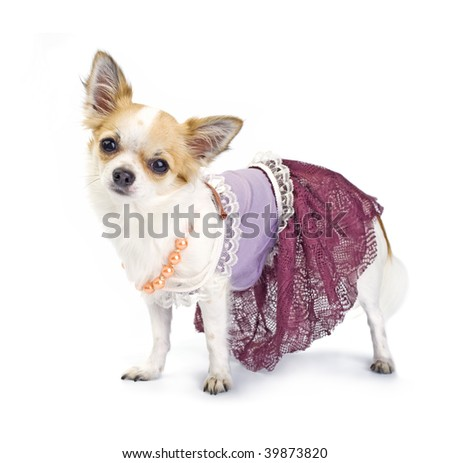 Chihuahua dressed as haute couture