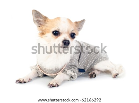 Chihuahua dressed in fashionable dress with empty label, pink pearl and manicure lying on white