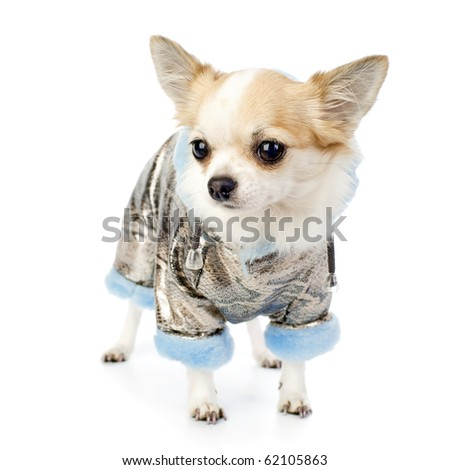 Chihuahua dressed in silver winter coat with blue artificial fur standing on white