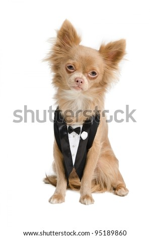 Chihuahua dressed like a bridegroom in tuxedo
