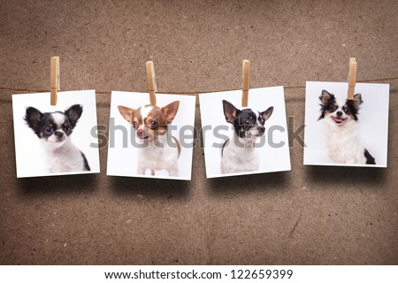 chihuahua hanging photos