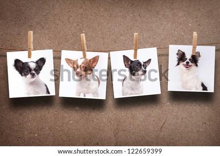 chihuahua hanging photos - stock photo