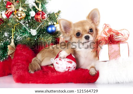 Chihuahua hua and New Year gifts