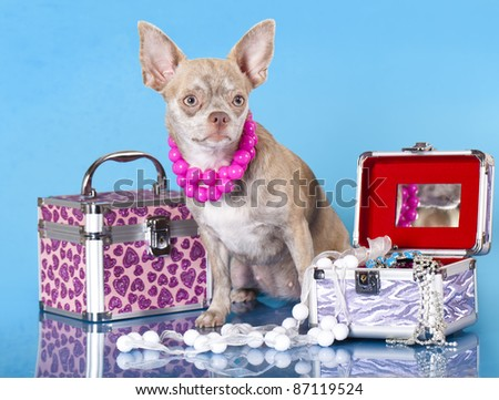 Chihuahua hua dog with a chest and jewels