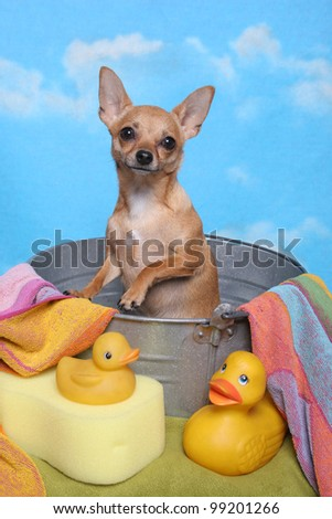 Chihuahua in a bathtub