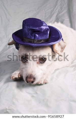 chihuahua in purple hat
