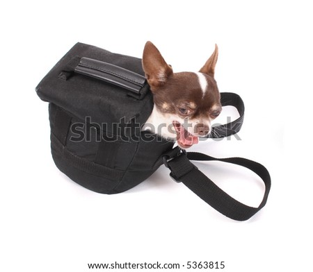 chihuahua in the small bag