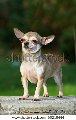 chihuahua is a brave small dog on a stone