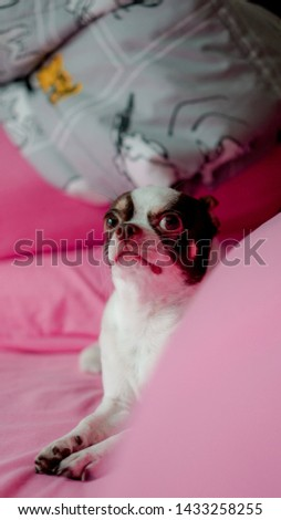 Chihuahua is cool, ready to take pictures