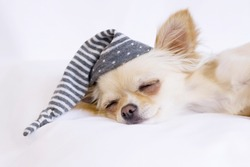 Chihuahua is sleeping tight in a cozy bed. A dog in a nightcap.