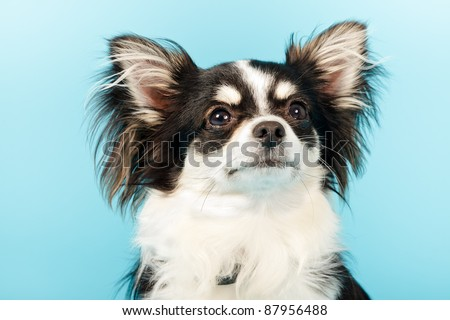 Chihuahua isolated on blue background. Long hair. Studio portrait.