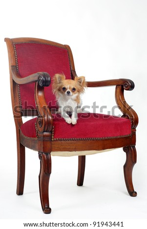 chihuahua laid down on an antique chair in front of white background
